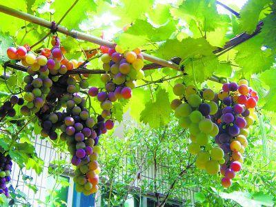 您知道怎樣照顧自家庭院裡的漂亮葡萄架嗎? - 每日頭條