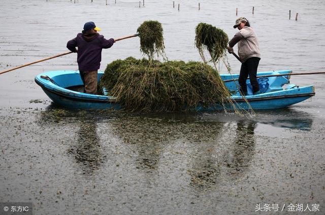 小龍蝦養殖種植哪種水草好? - 每日頭條