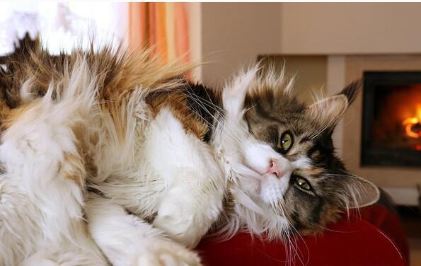 最適合新手養的十種貓,潔癖人士第一選擇的寵物 - 每日頭條