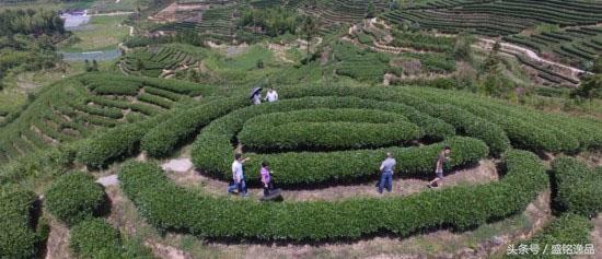 中國三大烏龍茶區 - 每日頭條