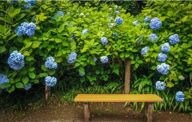 繡球花種植,養護,你知道多少? - 每日頭條