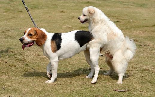 狗狗的交配時間決定狗寶寶質量。可如何找到狗狗最佳配種時間呢? - 每日頭條
