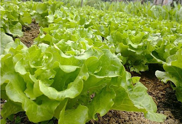 老農菜園子裡常見的十種蔬菜。打農藥最多的竟然是我們常吃的 - 每日頭條