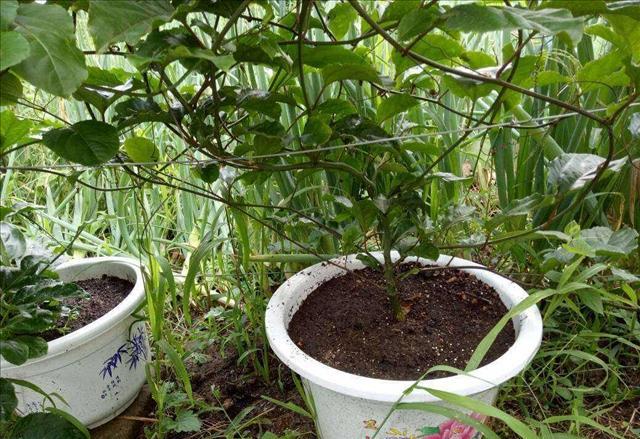 在家裡種植百香果盆栽,平時只需要記住這幾項,保你碩果纍纍 - 每日頭條