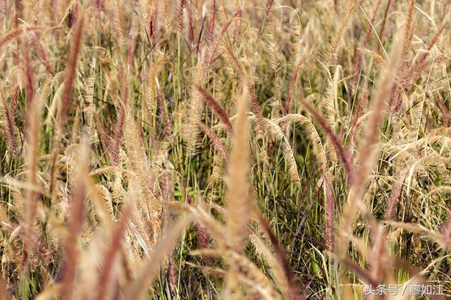 紫色是種高貴的色系。如果狼尾草是這顏色。它會是怎樣?請看圖 - 每日頭條