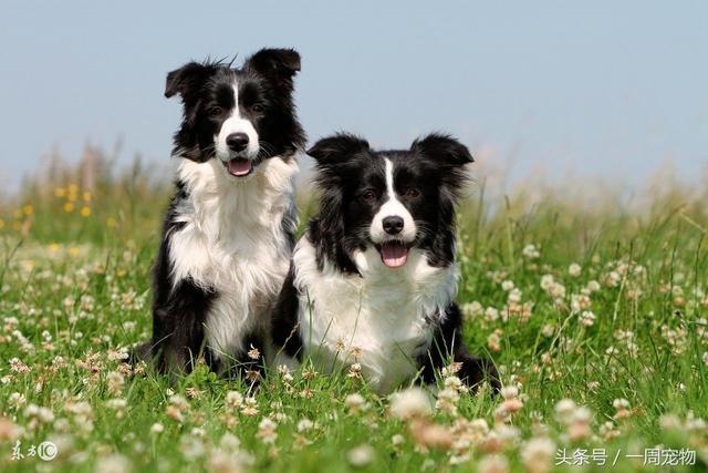 邊境牧羊犬生活習性解密 - 每日頭條