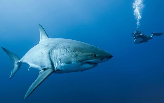 鯊魚是地球唯一不得病的動物?它要睡覺嗎?鯊魚的幾個事實 - 每日頭條