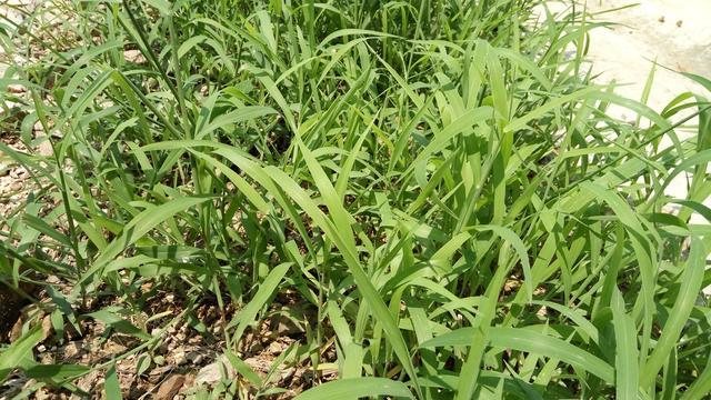 農民非常討厭的雜草,是治療肺熱咳嗽的好藥,只是知道的人不多 - 每日頭條
