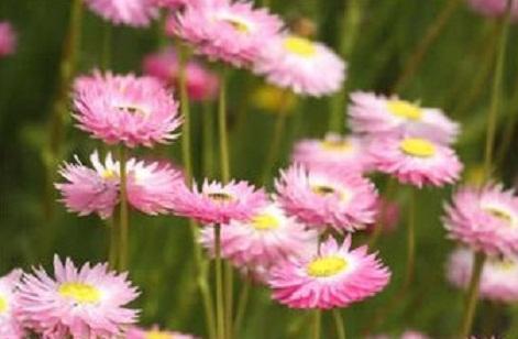 各種種類的菊花及花語(二) - 每日頭條