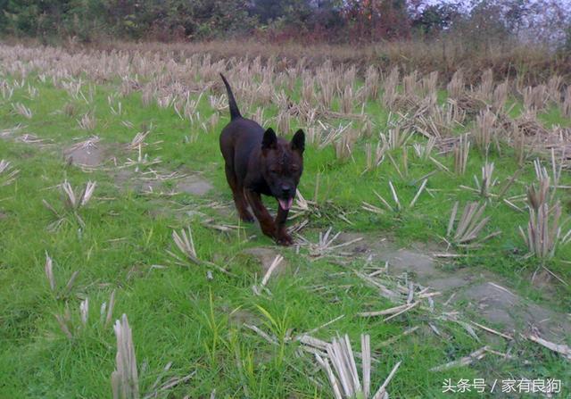 川東獵犬堪稱中國獨有猛犬,誰說國內沒有好獵狗? - 每日頭條