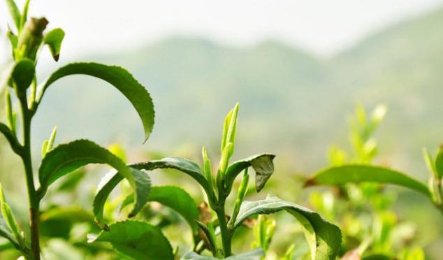 學會這6招。辨別新茶陳茶無煩惱 - 每日頭條