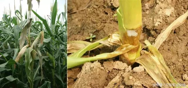 全新的玉米病蟲害解決方案 - 每日頭條