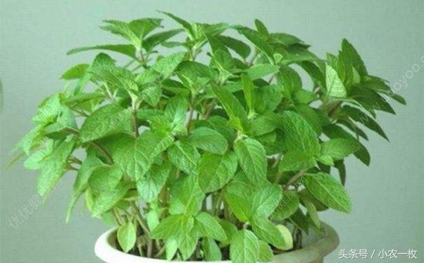 盆栽薄荷的種植小技巧 - 每日頭條