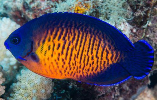 「海水小百科」—藍閃電神仙魚 - 每日頭條