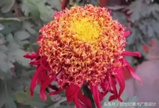 菊花的花語,習性,培養,功效都在這裡趕快收藏 - 每日頭條