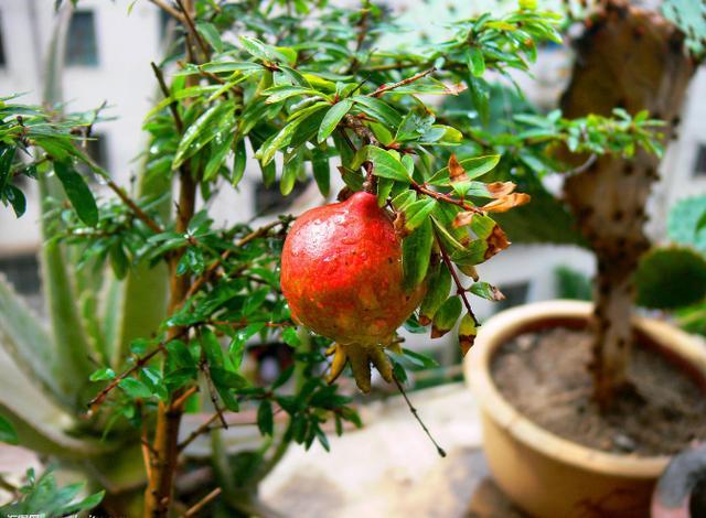 盆栽石榴如何種。春天種上一棵。開花美上天。果實又大又好吃 - 每日頭條