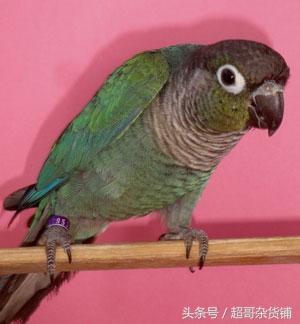 家有愛寵之小太陽鸚鵡 - 每日頭條