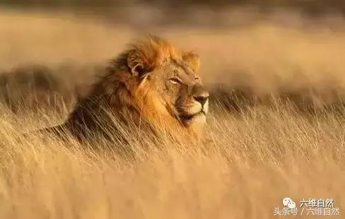 一頭雄獅捕捉不了野牛。那就來兩頭雄獅聯手獵食大野牛 - 每日頭條