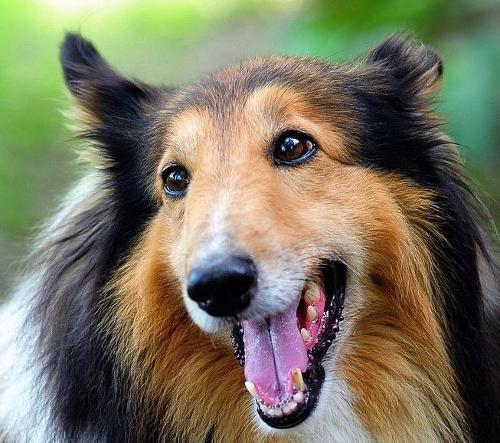 優秀的牧羊犬 蘇格蘭牧羊犬、 - 每日頭條