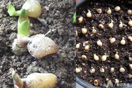 君子蘭種子種植方法分享 注意三點發芽更快 - 每日頭條