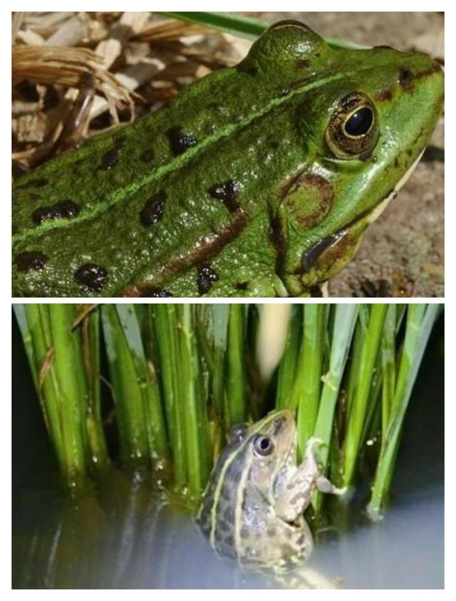 野生青蛙(俗稱田雞)保健作用與營養功效 - 每日頭條
