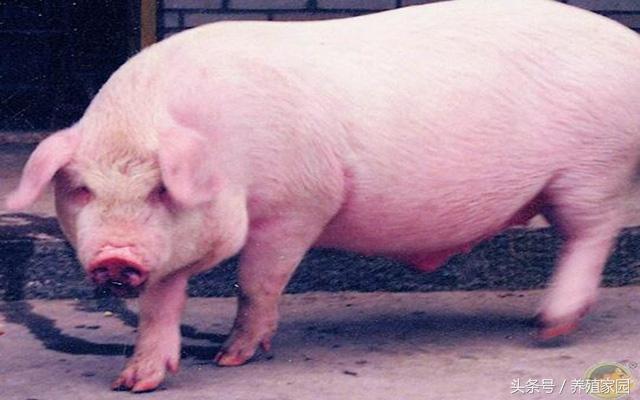 母豬餵料大有學問。這些方法你都知道嗎? - 每日頭條