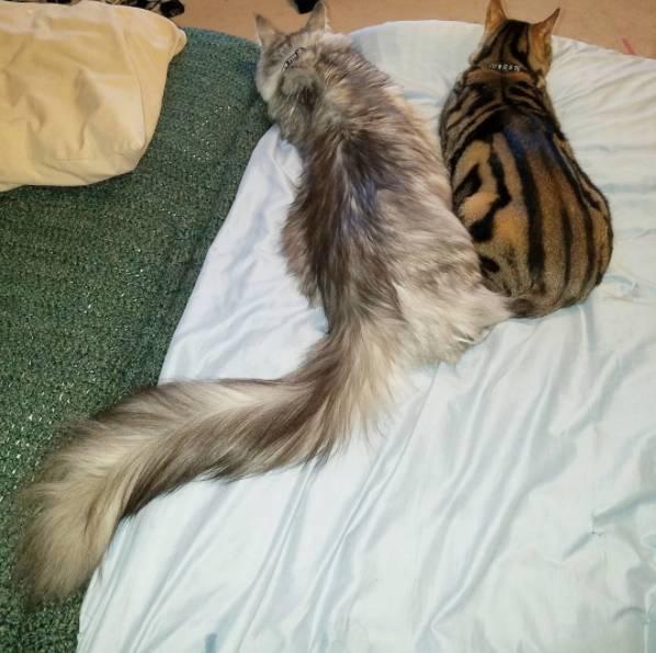 這兩貓一隻靠尾巴。一隻靠身高不但拿了金氏世界紀錄。而且…… - 每日頭條