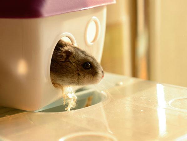 懷孕了。家裡的倉鼠還能繼續養嗎? - 每日頭條