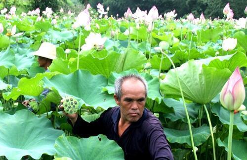 農民種蓮藕。收穫蓮子有講究。教你如何正確收穫蓮子 - 每日頭條