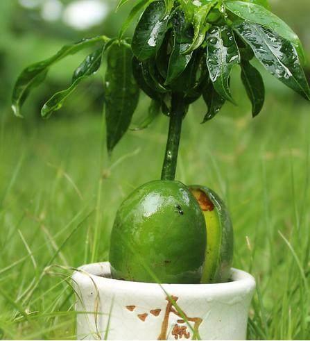 這種盆栽最好養,春天把種子扔水裡就活了,壽命長達60年! - 每日頭條