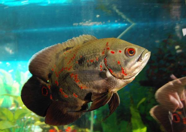會和主人互動的魚類:水中之豬——地圖魚的養殖知識 - 每日頭條