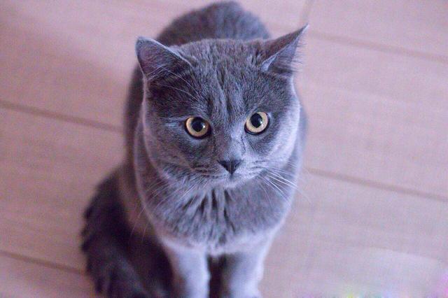 寵物圖集:沙特爾貓 - 每日頭條