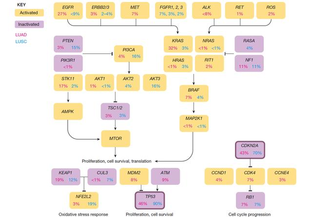 「Nature」非小細胞肺癌生物學及治療里程碑 - 每日頭條