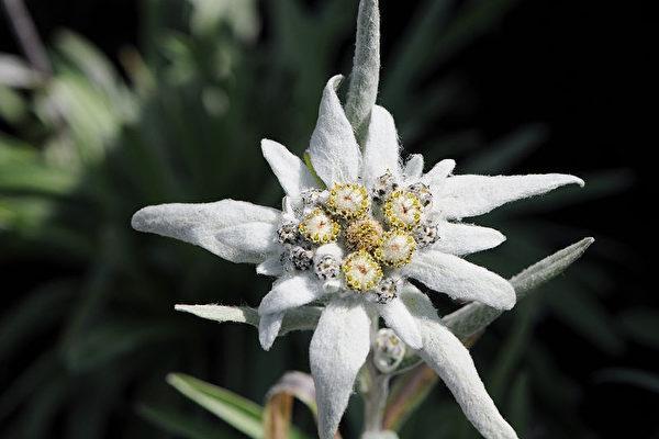 阿爾卑斯山的象徵 雪絨花 - 每日頭條