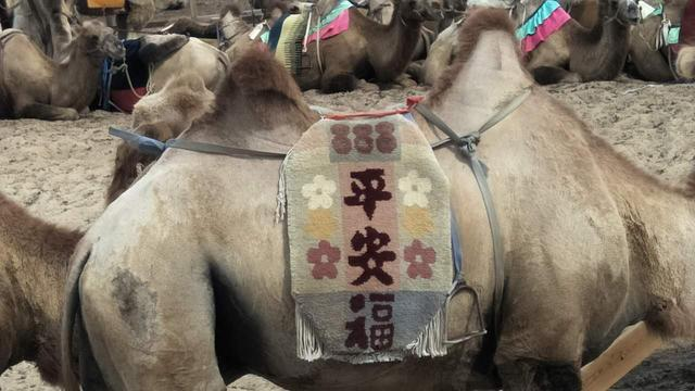 兩句暗語讓駱駝下跪。它怎麼能聽懂黑大漢的話。小編真是拔不動腿了 - 每日頭條