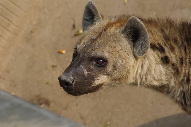 有著超強咬合力的非洲二哥。斑鬣狗! - 每日頭條