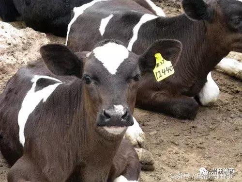新生犢牛很嬌弱 飼養管理很重要! - 每日頭條