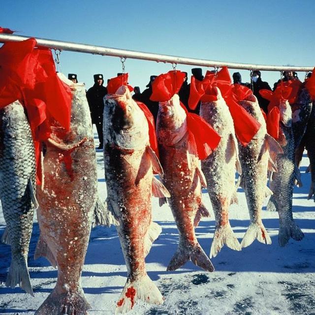 查干湖冬捕長達40天,胖頭魚堆積成山,千萬遊客在現場參觀買魚 - 每日頭條