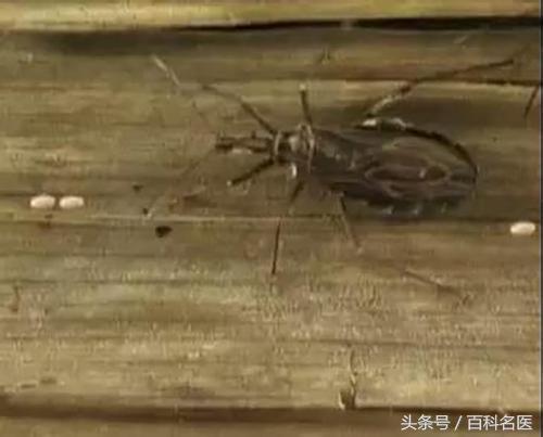 快看看家中有沒有這種蟲子,咬一口可得「新型愛滋病」!找蟲! - 每日頭條