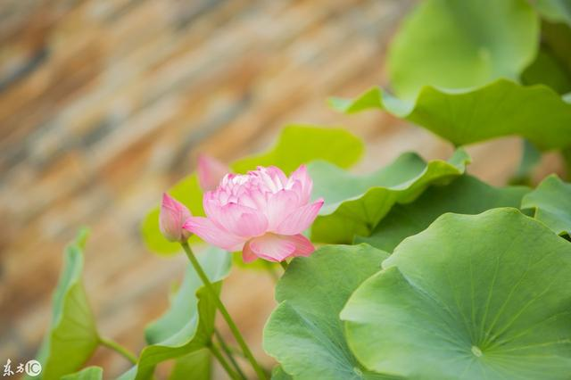蓮花「中通外直。不蔓不枝」。象徵君子內心通達。獨立不倚的品格 - 每日頭條