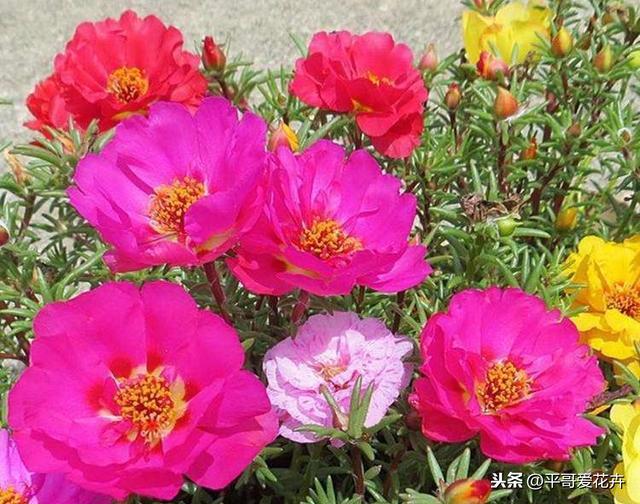 夏季最適合養這「4種花」。耐高溫、越曬花越多。您養了嗎? - 每日頭條