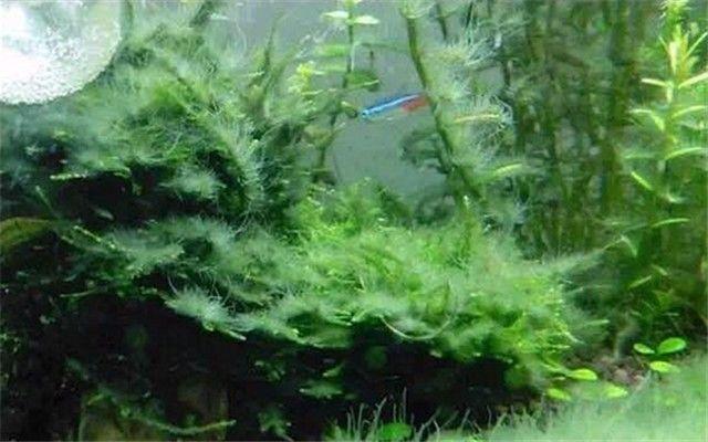 草缸有藻。還不知道是什麼藻。怎麼辦? - 每日頭條