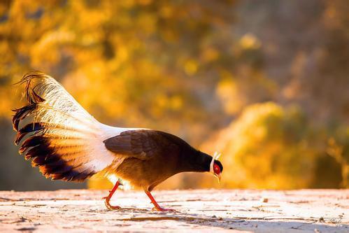 地球上4大最昂貴的雞。第一售價597萬元一隻。被稱為「蘭博雞尼」 - 每日頭條