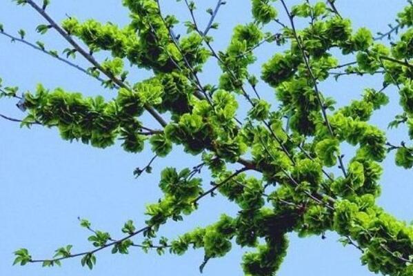 榆樹長什麼樣子?種子、種苗市場價格大概是多少?種在哪個方位好 - 每日頭條