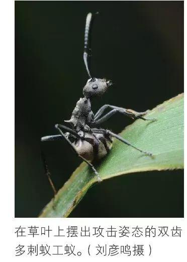 螞蟻是這個世界上最團結的物種嗎?不,它不是 - 每日頭條