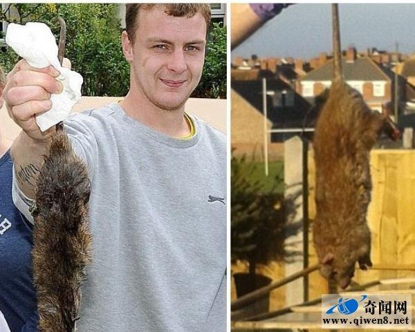 英房主發現突變巨鼠 牛直接被它秒殺 - 每日頭條