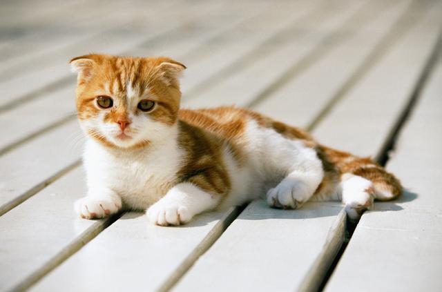 貓主子一直叫,以為是發情?大錯特錯 - 每日頭條