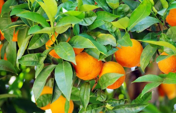 橘子是一種很容易成活的植物,那麼種植橘樹的過程是什麼? - 每日頭條