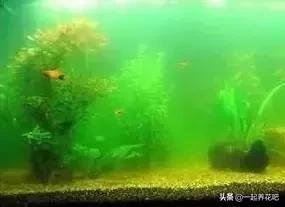 魚缸內青苔絲長太多了咋回事?都是水質不好惹的禍?該如何解決 - 每日頭條