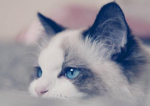 布偶貓多少錢一隻?布偶貓市場行情? - 每日頭條